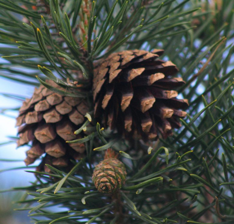 survival uses for pine cones