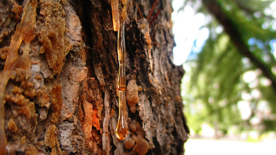 survival uses for pine sap